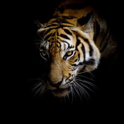 Naklejka bliska twarz tygrys samodzielnie na czarnym tle