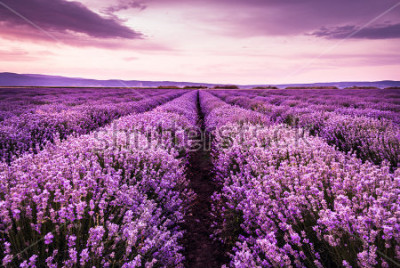 Naklejka Blooming lavender field under the purple colors of the summer sunset