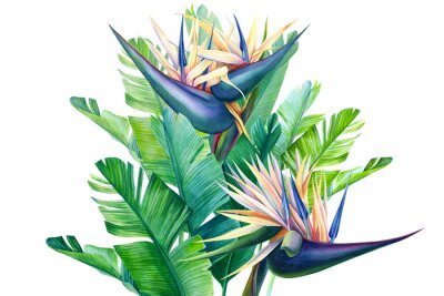 Naklejka bouquet of tropical strelitzia flowers on a white background, watercolor illustration