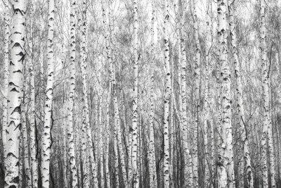 Naklejka brzozowy las, czarno-białe zdjęcie
