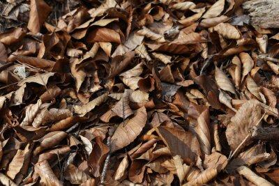 Naklejka Buchenlaub, trockene Buchenblätter als Kompost