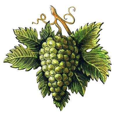 Naklejka Bukiet dojrzałych winogron zielonych, akwarela ilustracji, wyciągnąć rękę