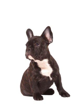 Naklejka Buldog francuski puppy (3 miesiące) - Image