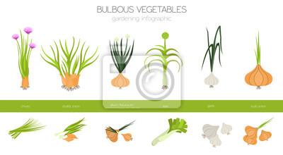 Naklejka Bulwiaste warzywa, walijska cebula, cebula, por, szalotka, czosnek itp. Ogrodnictwo, infografika rolnicza, jak rośnie. Płaska konstrukcja