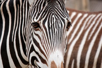 Naklejka Burchell's zebra is a southern subspecies of the plains zebra. It is named after the British explorer William John Burchell. Common names include bontequagga, Damara zebra and Zululand zebra
