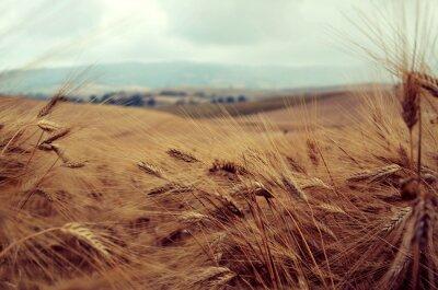 Naklejka Campo di grano