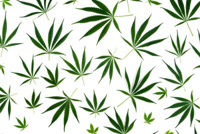 Naklejka Cannabis leaves of different sizes are isolated on a white background.