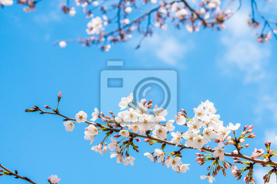 Naklejka Cherry blossom in spring for background or copy space for text