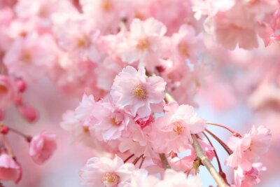Naklejka Cherry blossoms in full bloom in Yamanashi - Japan spring -