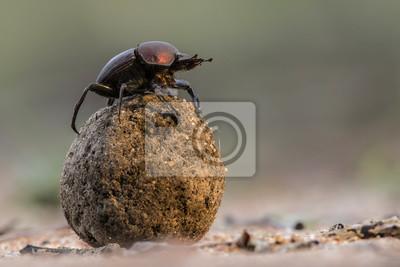 Naklejka Chrząszcz gnojowy na kuli nawozu, aby zaimponować damom w Sabi Sands GR, części większego regionu Krugera w Republice Południowej Afryki