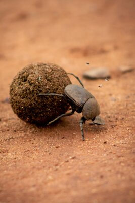 Naklejka Close-up Of Dung Beetle Insect On Sand