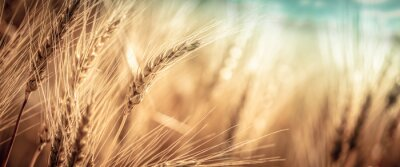 Naklejka Close-up Of Ripe Golden Wheat With Vintage Effect, Clouds And Sky - Harvest Time Concept