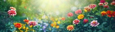 Naklejka Colorful beautiful multicolored flowers Zínnia spring summer in Sunny garden in sunlight on nature outdoors. Ultra wide banner format.