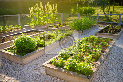 Naklejka Community kitchen garden. Raised garden beds with plants in vegetable community garden.