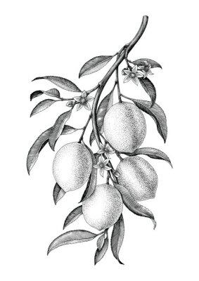 Naklejka Cytryna gałęziasta ilustracyjna czarny i biały rocznik klamerki sztuka odizolowywa na białym tle