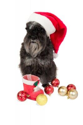 Czarny pies (Sznaucer miniaturowy) w kapeluszu Mikołaja czeka na prezenty należy umieścić w swoim pończochę. Pojedynczo na białym tle.