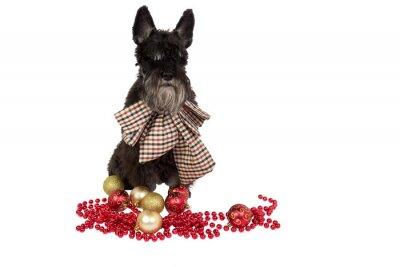 Czarny pies (Sznaucer miniaturowy) z dużym dziobem w kratkę na szyi. Zwierzę jak Boże Narodzenie lub Nowy Rok obecnej. Pojedynczo na białym tle.
