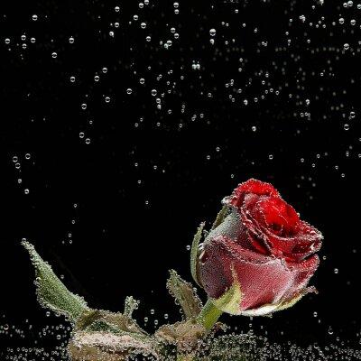 Naklejka Czerwona róża w kroplach rosy na czarnym tle