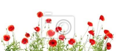czerwone maki na białym tle