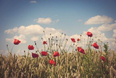 Naklejka Czerwone maki w polu pszenicy