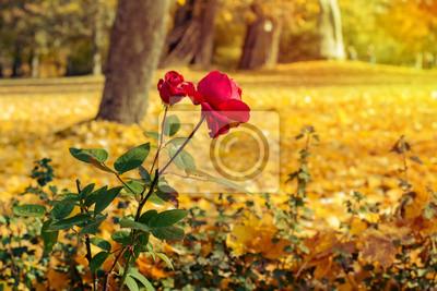 Czerwone róże w parku jesienią