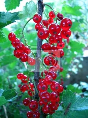 czerwony currant1