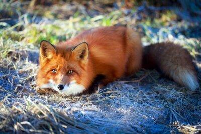 Naklejka czerwony lis