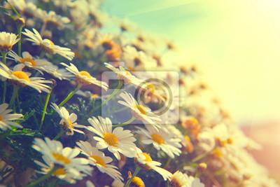 Daisy kwiaty. Piękna przyroda sceny z kwitnących chamomiles