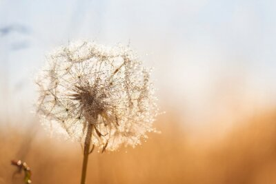 Naklejka Dandelion flower