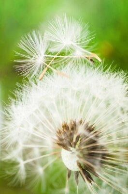Naklejka Dandelion kwiat z dwóch nasion na górze