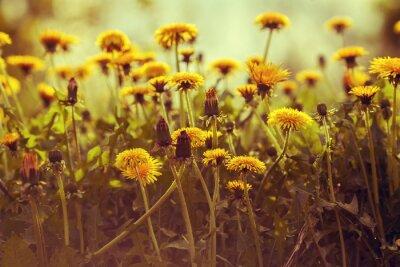 Naklejka Dandelion kwiaty o zachodzie słońca z nieba. Vintage korekcja kolorów