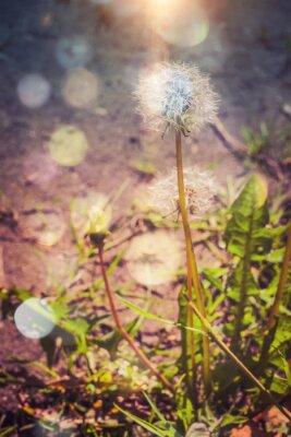 Naklejka Dandelion w ogrodzie Filtrowane