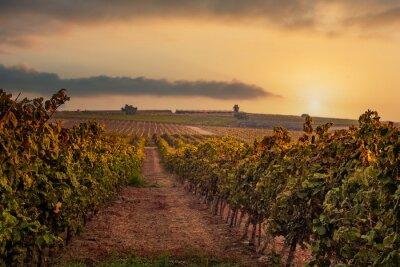 Naklejka Dawn over the vineyards. HaShfela area, Southern Israel.