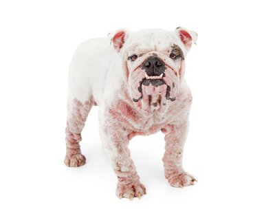 Naklejka Dog With Demodectic Mange
