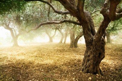Drzew oliwnych