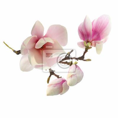 Naklejka Drzewo Magnolia