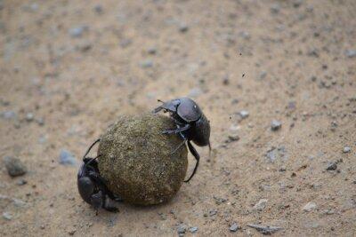 Naklejka dung beetle