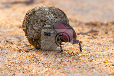 Naklejka Dung beetle on his dung ball to impress the ladies in Sabi Sands GR, part of the greater Kruger region in South Africa