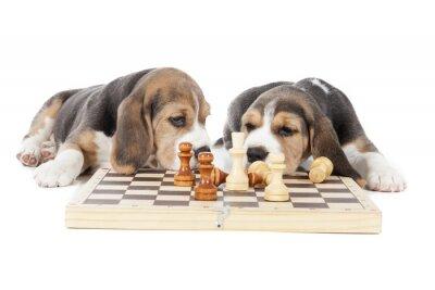 Naklejka Dwa Beagle szczenięta gry w szachy na białym tle w studio