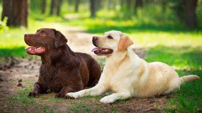 Naklejka dwa labrador retriever pies