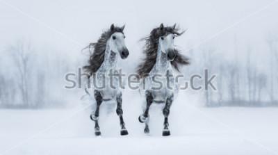 Naklejka Dwa runnig szarość długonogi Purebred Hiszpańscy konie przez śnieżnego pole.