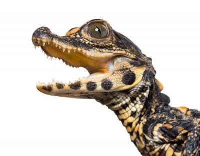 Naklejka Dwarf crocodile against white background