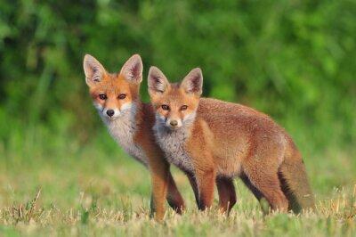Naklejka Dwie czerwone lisy