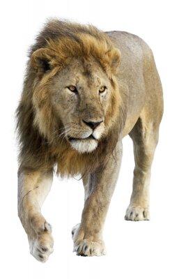 Naklejka Dziki darmo roamingu samiec lwa na białym tle