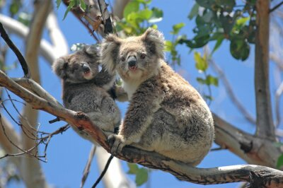 Naklejka Dzikie Koale wzdłuż Great Ocean Road, Victoria, Australia