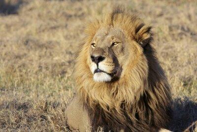 Naklejka Dzikie samiec lwa portret