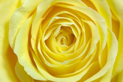 Naklejka Einzelne żółte Rose, formatfüllend