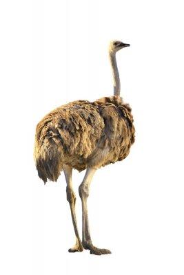 Naklejka emu