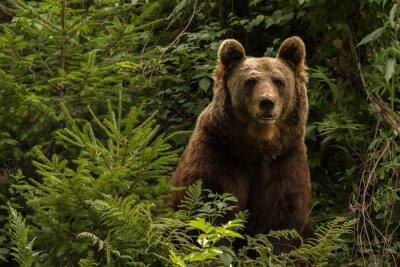 Naklejka Eurasian niedźwiedź brunatny