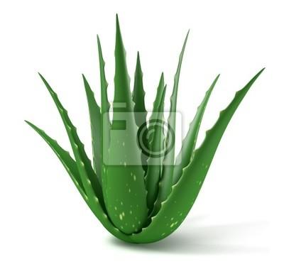 Fabryka d'Aloe Vera sur fond blanc 2